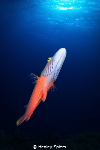 Friendly Wrasse by Henley Spiers