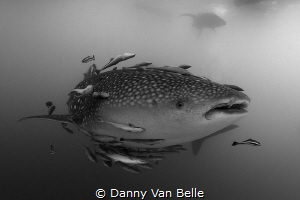 Whaleshark by Danny Van Belle