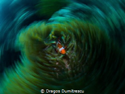 Nemo Vortex (Amphiprion ocellaris) Philippines, Canon 6d... by Dragos Dumitrescu