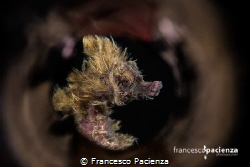 Hairy Hyppo. by Francesco Pacienza