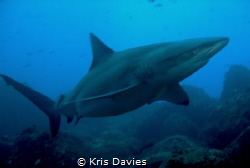 Big Galapagos shark, taken at Wolf island, Galapagos. by Kris Davies
