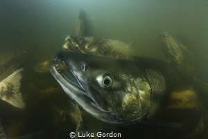 The chaos when 60,000 Chum salmon are trying to swim up r... by Luke Gordon