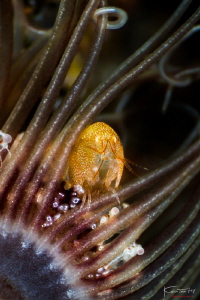 Hide n seek, (Amphipod) by Kelvin H.y. Tan