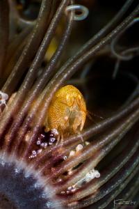 Hide n seek, (Amphipod) by Kelvin H.y. Tan