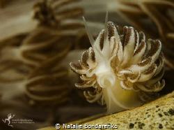 Mimic nudibranch by Natalie Bondarenko