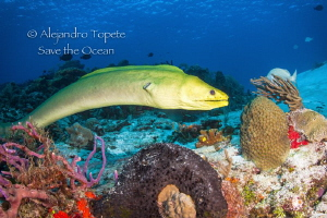Green Morey in the Reef, Cozumel México by Alejandro Topete