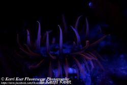 Beautifully fluorescent anemone by Kerri Keet