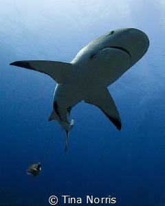 Reef shark with fishing line. by Tina Norris
