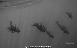 pilot whales comming closer by Claudia Weber-Gebert