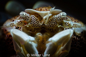 portrait of a porcelaincrab by Volker Lonz