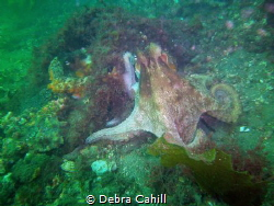 Hanging Out Sydney Octopus Sydney by Debra Cahill