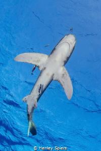 Shark from Below by Henley Spiers