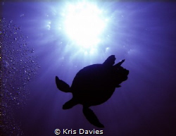 Turtle silhouette, with the sun and bubbles. Natural ligh... by Kris Davies