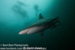 Oceanic Blacktip Shark admiring his reflection in my dome by Kerri Keet