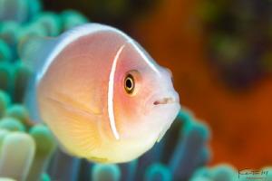 Pink anemone fish by Kelvin H.y. Tan