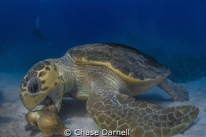 """""""Dinner Bell"""" Loggerhead chowing down. An incredible exp... by Chase Darnell"""