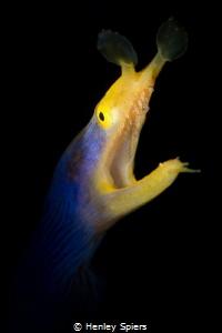 Male Ribbon Eel Roars by Henley Spiers