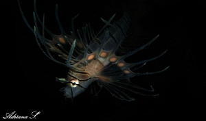 Juvenile Lionfish by Adriana Simeonova