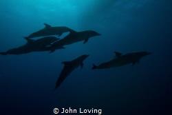 Dolphins by John Loving