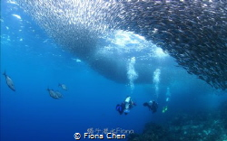 A group of divers dive into the school of sardins in Panl... by Fiona Chen