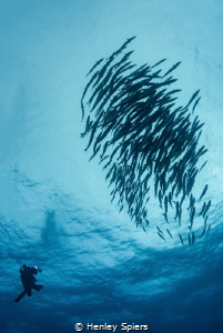 Diver and School of Barracuda by Henley Spiers