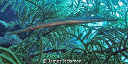 Image of trumpet fish camouflaged in sea fan. Photo taken... by James Mclarnon