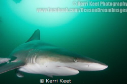 Close encounter with an Oceanic Blacktip Shark at Aliwal ... by Kerri Keet
