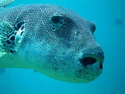 a very curious porcupine fish, i wasn't able to shoot api... by Patricia Jussen