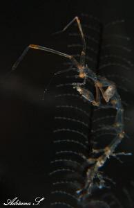 Skeleton shrimp by Adriana Simeonova