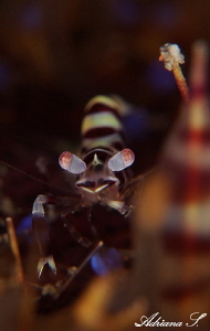Juvenile Coleman Shrimp by Adriana Simeonova