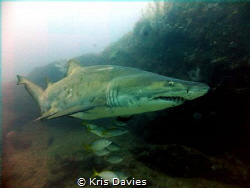 Raggy tooth shark, taken at the 'Cathedral' South Africa. by Kris Davies