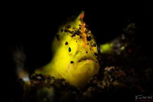 Little froggy, Tulamben by Kelvin H.y. Tan