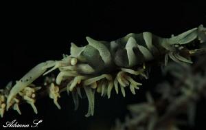 Shrimp on black coral by Adriana Simeonova
