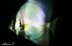 Batfish by Adriana Simeonova