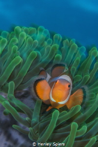 Psychedelic Clownfish by Henley Spiers