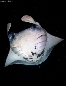 Large Manta filter feeding for Plankton at night in Kona,... by Tony Cherbas