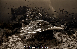Stingray attack by Plamena Mileva