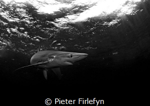 Blue shark by Pieter Firlefyn