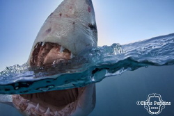 Curiosity  This young white shark was incredibly curiou... by Chris Perkins
