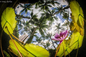 Lillies under Palm Trees by Tony Cherbas