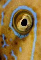 Broomtail Filefish(Besenschwanzfeilenfisch) , Macro - onl... by Ralf Levc