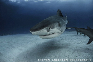 Tiger Sharks come in close and are very interested in bei... by Steven Anderson