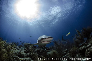 Lemon Shark follows the light of the sun over a reef at T... by Steven Anderson