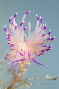 Flabellina angelvaldesi by Wayne Jones