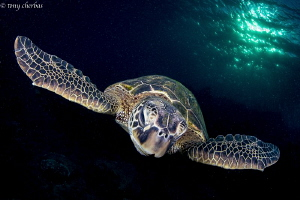 Turtle in slow flight with layovers and delays... Holiday... by Tony Cherbas