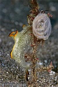 Flatworm laying eggs by Iyad Suleyman