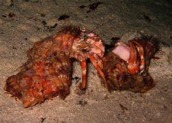 Fighting anemone hermit crabs at Mataking Island by Alex Lim