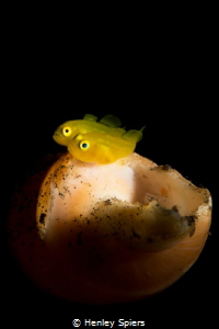 Planet Golden Goby by Henley Spiers