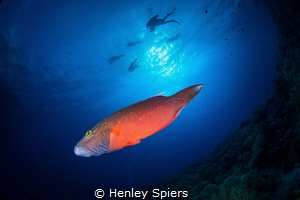 Wrasse & Divers by Henley Spiers
