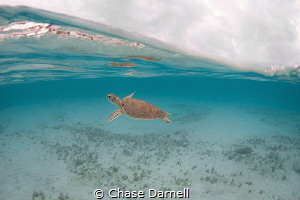 """""""Turtle Youth"""" A very small Green Sea Turtle swimming an... by Chase Darnell"""